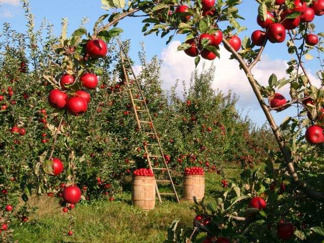 Pielęgnacja drzewek owocowych